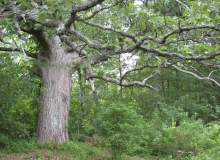 New 1-mile White Oak Trail named for this magnificent Swamp White Oak