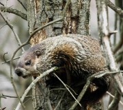 Wildlife - Honorable mention: Thomas Gorman, Groundhog