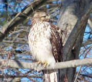 Birds - Honorable mention: Jim Mulvey, Juvenile Red-shouldered Hawk