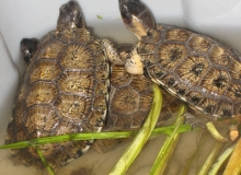 Ground-breaking head-start wood turtle research