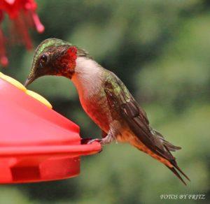 hummingbird-Dave Katz
