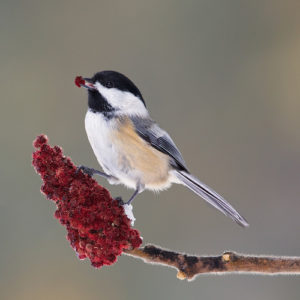 Black-capped Chickadee – one of the top 10 most frequently reported species in 2015's Count. Photo by Missy Mandel, Canada.
