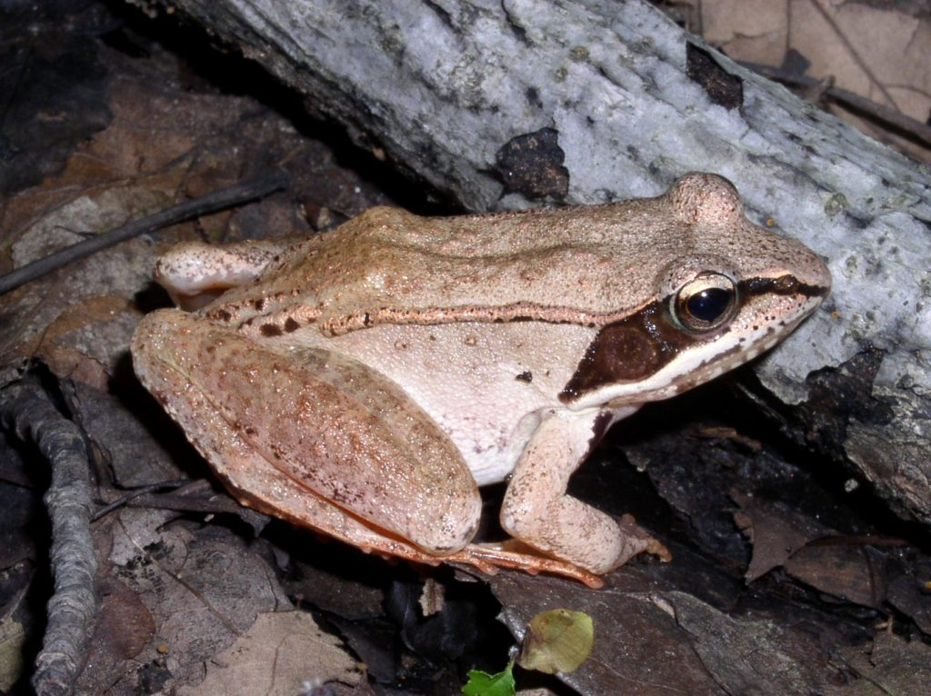 Wood Frog. Credit Dorothy Smullen