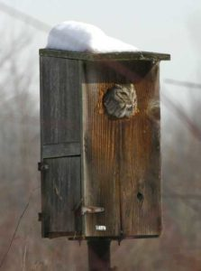 Owl in Wood Duck Box