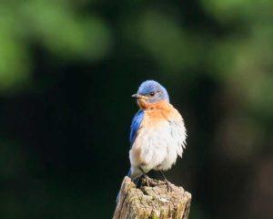 Bluebird, Mike Duffy